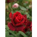 ショッピングバラ パパメイアン(バラ苗:四季咲き大輪系) バラの殿堂入り 大苗予約