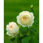 バラ苗 イングリッシュローズ 7号鉢植え
