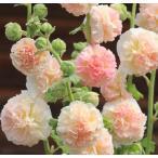 アルセア(ホリホック) タチアオイ(立葵) 宿根草 ダブル(八重咲き) シャモイズ