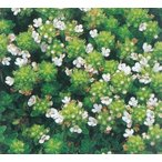 クリーピングタイム(白花) ハーブ苗