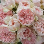 クロッシェ(大苗)7号鉢植え 四季咲き バラ苗 河本バラ園 Kawamoto Brand Roses
