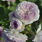 ブルー・ムーン・ストーン(大苗予約)7号鉢植え 四季咲き バラ苗 河本バラ園 Kawamoto Brand Roses