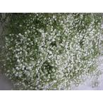 切り花 生花 切花 シユツコンカスミ ポラリスなど L以上 5本 ドライフラワーにもなります かすみ草