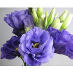 切り花 生花 切花 トルコヤエムラサキ エクローサなど 5本