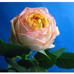切り花 生花 切花 バラ オレンジ ベビーロマンチカなど丸咲き 5本