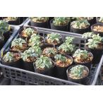 Helleborus occidentalis Spain Saya(14.15)/ヘレボルス・オキシデンタリス スペイン サヤ産(14.15)