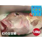 [幻の超高級魚!美味しい魚特選海鮮ギフト]徳島県産 白甘鯛(しらかわ)1尾1.4kg前後[国産][冷蔵便]