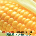 トウモロコシ 訳あり  品種お任せ 朝採り とうもろこし黄系 4kg 2L 350g以上10〜12本入り わくわく,味来,ゴールドラッシュ,ドルチェドリームから何れかお届け