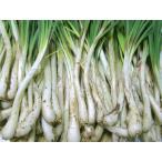 (送料込み)沖縄県産島らっきょう(生)1kg(野菜 沖縄産 特産品 らっきょう)(沖縄限定 沖縄 お土産)