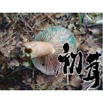 香菇 - 天然 きのこ(天然キノコ 国産)初茸(はつたけ ハツタケ りょくしょうたけ)300g 松茸 まいたけ だけがキノコじゃない ギフト対応