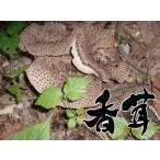 天然キノコ (天然きのこ 国産) 香茸 (シシタケ・こうたけ・こう茸) 秋の味覚 300g  松茸/まいたけ  だけがキノコじゃない