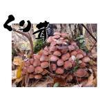 香菇 - 天然 きのこ(天然キノコ 国産) くりたけ(あかんぼう くり もたせ もたし)300g 秋の味覚 山の幸 天然食材 を 産地直送 ギフト対応