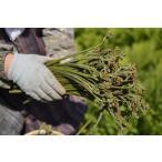 天然 山菜 ワラビ(紫わらび どじょう蕨)5kg 太く柔らく滑り強く香り高いのが自慢  春の味覚 山の幸 採りたて 産地直送(会津産)
