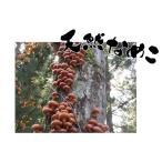 天然きのこ(キノコ) なめこ (開き・粒混じり)300g   濃厚なヌメリ 野性味溢れる香り 秋の味覚 山の幸を 産地直送 ギフト対応