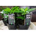 ハワイで有名な希少価値のコナコーヒー苗・3鉢セット・格安です。コーヒーの木