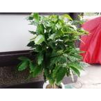 ハワイで有名な希少価値のコナコーヒー特大苗・数量限定です・鉢底から60cmほど