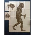 実物大猿人図 北京原人頭骨写真 ラスコー洞窟の壁画(図)