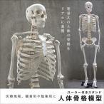 人体模型 等身大 整体 ヒューマンスカル 人体骨格模型 骨格模型  骨