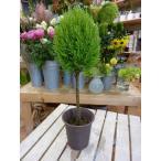 コニファーウィルマ (ゴールドクレスト) トピアリースタンド仕立て 4号鉢 植え替え・寄せ植えなどに♪『クリスマスツリーの準備にも♪』