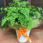 アジアンタム♪ふわふわ可愛い葉♪ 【シンプルの籐カゴ(バスケット入り)タイプのお得セット価格