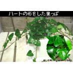 ハート形の葉っぱ♪ハートアイビー♪ヘデラ・サーク【アイビー】誕生日やお祝い・プレゼントや景品にも♪ミニ観葉植物サイズ♪モダン風アジアンテイスト♪