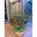 【送料無料】オリーブの木 品種違い2本寄せ植え Oli-me(オリーミー) アイビーを垂らしてオシャレ仕上げ♪M-サイズ テラコッタ陶器鉢