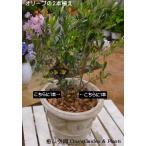 【送料無料】オリーブの木 2本寄せ植え Oli-me(オリーミー)アンティーク風テラコッタ仕上げ