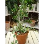オリーブの木を育てたいお客様に♪プレゼントにも♪シン