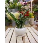 万年青(オモト)都の城♪和風の和み♪テーブルサイズ(S-サイズ)お祝い事に♪引越し祝い、新築祝いなどに♪観葉植物