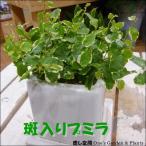 Yahoo!癒し空間 One's Garden斑入りフィカスプミラ♪1000円セール品♪場所取らずでちょこっと置くだけ♪プレゼントや景品にも♪ミニ観葉植物サイズ♪モダン風アジアンテイスト♪