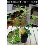 Yahoo!癒し空間 One's Gardenシトラール効果♪レモンマートル ポット(苗) 大きく育てて自分流のガーデニングに仕上げて下さい♪植え替え・寄せかご・寄せ植えなどに♪