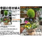 【送料無料】コニファーゴールドクレスト トピアリー(スタンド)仕立ての季節の寄せ植え テラコッタ陶器鉢 タイプA