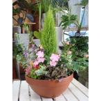 【送料無料】季節の寄せ植え♪コニファーゴールドクレスト コンテナガーデン♪おまかせピック付き♪タイプ−D テラコッタ陶器鉢