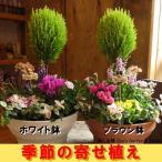 【送料無料】 季節の寄せ植え♪コニファーゴールドクレスト トピアリー仕立て(スタンド) プラスチック製で軽量化♪鉢カラーをお選びください♪