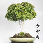 ケヤキ ニレケヤキ 盆栽 楡欅 寒樹 風情 見どころ 中品 発売記念 送料無料 1点もの 現品限り 楕円 楡 欅 ケヤキ 盆栽鉢付き 鉢 bonsai