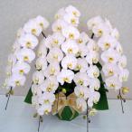 胡蝶蘭 5本立ち 大輪 50輪以上 開店祝い 還暦祝い お祝い