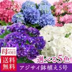 母の日 送料無料 あじさい アジサイ 紫陽花 5号 鉢植え  選べる5種 プレゼント ギフト 花 珍しい 新色 2019