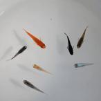 長州夢めだか おまかせ20匹セット 成魚 Mサイズ