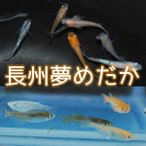 メダカ 長州夢めだか 成魚 Mサイズ 1匹 オスメス選べます