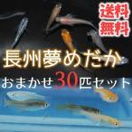 (送料無料) メダカ 長州夢めだか おまかせ20匹セット 成魚 Mサイズ