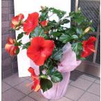 赤色のハイビスカスの鉢花