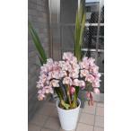 豪華なピンク シンビジューム 人気の垂れ咲き 3本立ち