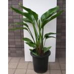 中型観葉植物 ストレリチア オーガスタ
