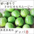 グァバ 赤 沖縄県産 無農薬グアバの実 果実 フルーツ 宮古島から産地直送!送料無料 約1kg
