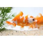金魚 サラサ三尾和金