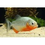 【年末年始セール大特価】【熱帯魚】ピラニア・ナッテリー(レッドベリー) 1匹
