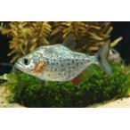 【年末年始セール大特価】【熱帯魚】ホーランディ・ピラニア(SM) 1匹