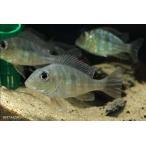 【新入荷】【熱帯魚】 ゲオファーガスspタパジョス  1匹