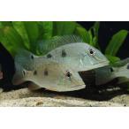 【新入荷】【熱帯魚】 ゲオファーガスspコロンビア 1匹