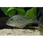 【新入荷】【熱帯魚】 ゲオファーガス・アルティフロンス 1匹